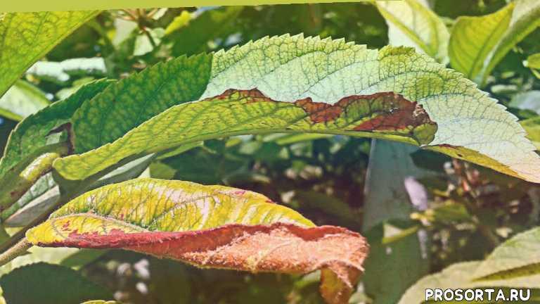 хлороз листьев - лечение и профилактика, хлороз листьев лечение, хлороз смородины, борьба с хлорозом, инфекционный хлороз, хлороз огурцов, болезнь хлороз, хлороз у растений как лечить