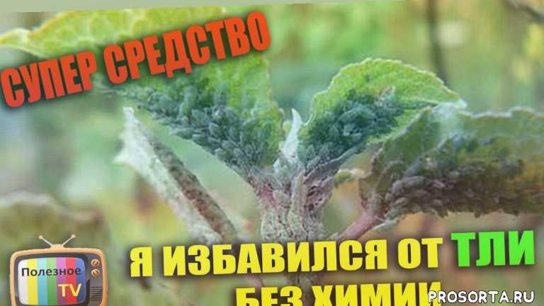 сад тля, супер средство, народное средство, лучшее средство, тля средство, борьба тлей, препараты от тли, тля на плодовых деревьях
