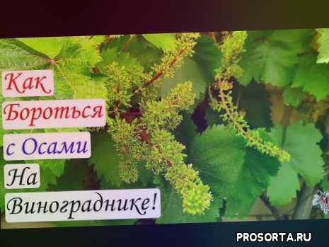 вредители на винограде, осы, методы борьбы с осами на винограднике, препараты для борьбы с осами, борьба с осами на даче, борьба с осами на винограде, борьба с осами на винограднике, как бороться с осами на дачном участке