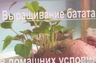 #батат, #выращиваниебатата, #алёнкиныувлечения