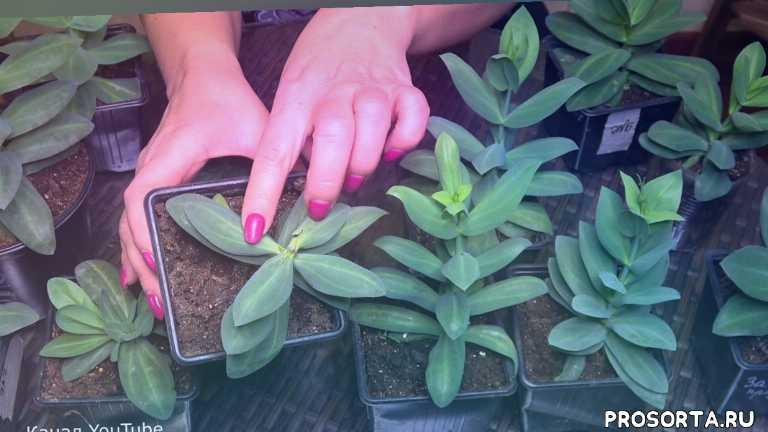 урожайный огород, прищипка, формировка, нужно ли прищипывать эустому, как вырастить эустому, как вырастить цветы, дача, сад