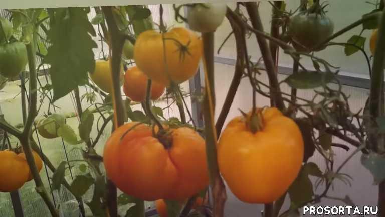 овощи, бычье сердце оранжевое, очень вкусныетоматы, урожай помидор бичье сердце, выбираем семена томатов, старинные томаты, спасаем томаты от жары, воловье сердце
