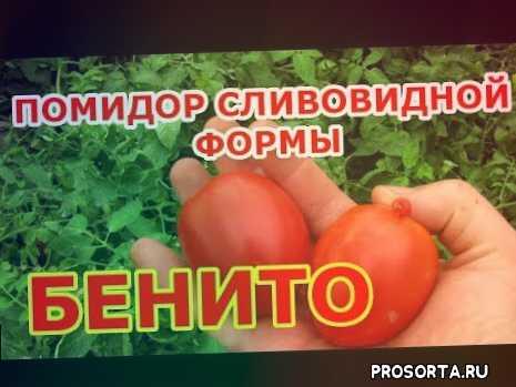 помидорсливка, томатбенито, огурцов., сорта, подкормка., помидоры., огурцы., летом.
