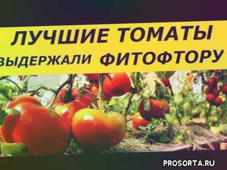 томаты, фитофтороз, фитофтора, фитофтороз томатов, фитофтора на томатах, выращивание томатов в теплице, выращивание томатов