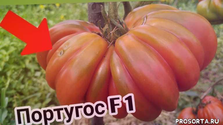 итальянские томаты, хиты 2019, томатные грядки, узкие грядки, алена шатковская, гибрид томата, гибриды, португос