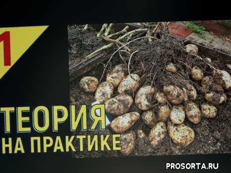 vogorode.pro, вогороде про, в огороде про, все о выращивании картофеля, способы посадки картофеля, способы размножения картофеля, этиолированный стебель у картофеля, репродукция картофеля