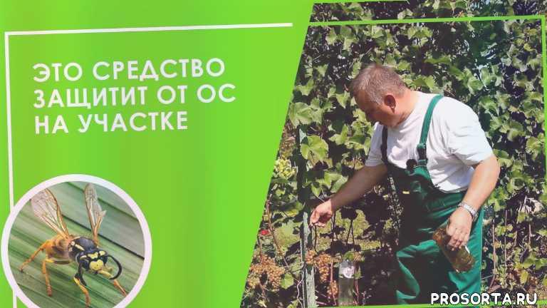 борьба от ос, осы на винограднике, ловушка для шершней, ловушки для ос, мешочки от ос для винограда, урожай винограда, мешочки для защиты винограда, как защитить виноград от ос