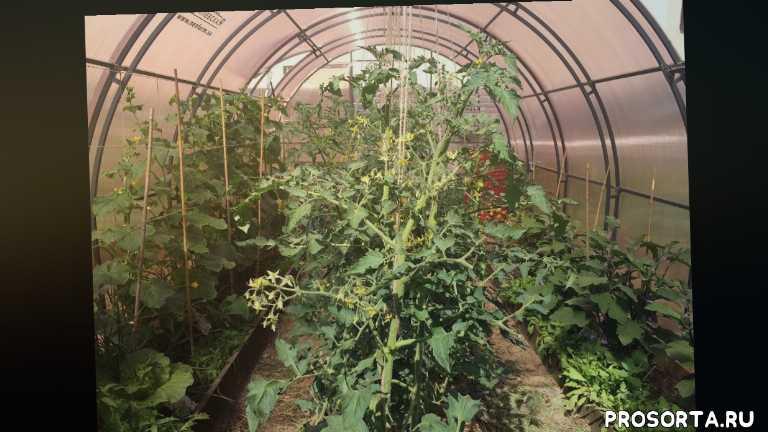 урожайный огород, выращивание томатов и огурцов в одной теплице, арбуз, лук, базилик, перец, баклажаны, огурцы в теплице