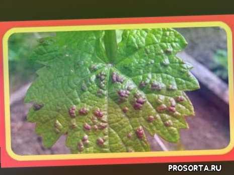 виноградов отзывы, виноград летом, виноград в июле, виноградов летом, листья винограда, виноград описание, войлочный клещ, прививка винограда