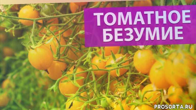томаты для салата, вкусный томат, лучший сорт томата, томаты болезни, дети томаты, сладкие томаты, листья томатов, томаты на зиму рецепты