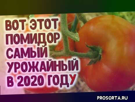 как посадить томаты, куст помидор, томаты в теплице, урожайный огород, большой урожай помидор, выращивание, как увеличить урожай томатов, уход за томатами