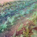 Выращивание Кабачков Арал в теплице . 2 недели спустя
