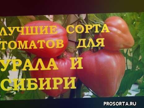 лучшие сорта для выращивания томатов для теплицы из поликарбоната для подмосковья и средней полосы, томаты в закрытом грунте, хорошие сорта помидоров. рассада томатов. когда сажать рассаду томатов. томаты в теплице, помидоры сорта, помидоры, урожайные сорта томатов, сорта томатов, лучшие сорта томатов