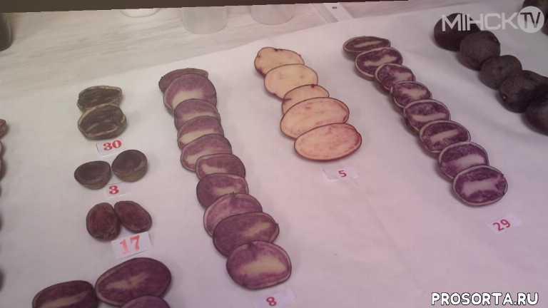 минск тв, минск tv, мтис, белорусские ученые, необычный сорт картофеля, картофель, новости минска, события в минске