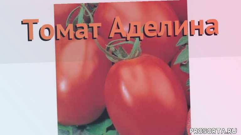 аделина семена, семена, семена томата, семена томата аделина, томат обыкновенный аделина как сажать, томат обыкновенный аделина обзор как сажать, томат обыкновенный аделина обзор, томат аделина обзор как сажать