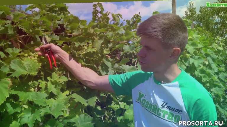 вредители, болезни, виноград