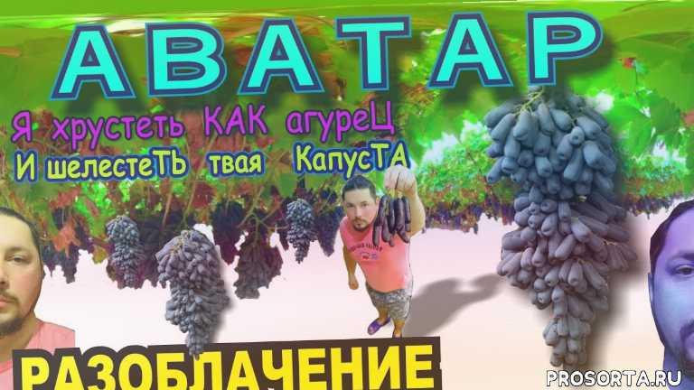 виноград аватар, виноград капли луны купить, виноград сладкий сапфир купить, виноград аватар купить, grape moon drops price, grapes avatar price, виноград сладкий сапфир цена, виноград капли луны цена