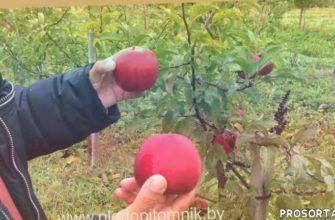 зимние сорта, яблоки, сорта яблонь, плодопитомник, саженцы