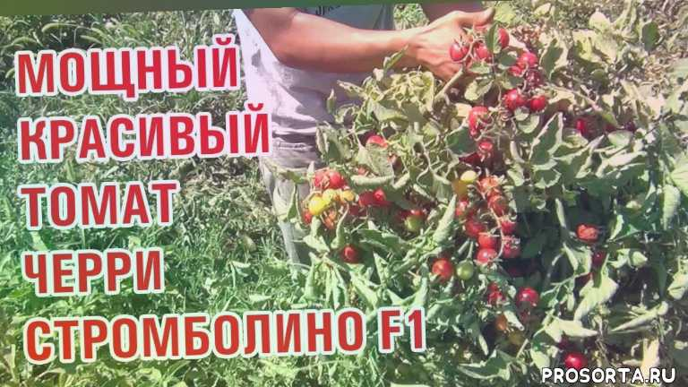черри ранние сроки созревания, урожайный томат типа черри, очень плотный с толстыми стенками, высокоустойчивый к различным условиям выращивания, черри стромболино f1, помидоры черри отлично подходит, черри подходит для консервирования, черри отлично подходит