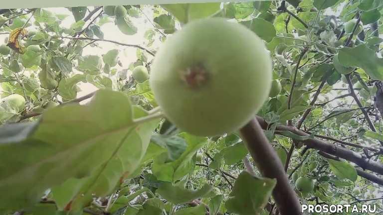 сорт яблоня белый налив