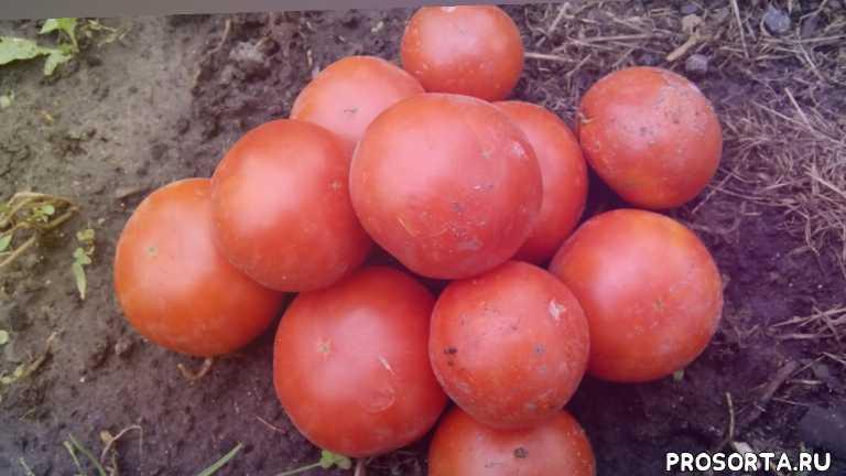помидор демидов, томатдемидов, томат демидов, #томатнаконсервацию, томат на консервацию, сорта томатов для открытого грунта, #сортатоматовдляоткрытогогрунта, какие помидоры буду сажать обязательно