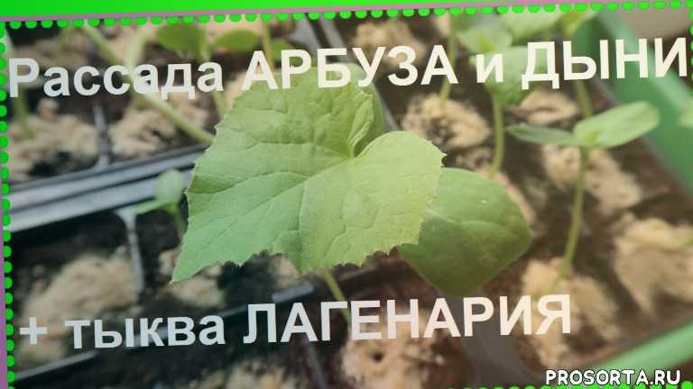 арбузы в средней полосе, арбузы, олеся в стране чудес, сроки посева арбузов, как вырастить арбуз, арбуз в подмосковье, пекинская радость, как выращивать дыни