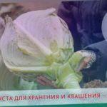 КАПУСТА ДЛЯ ХРАНЕНИЯ И КВАШЕНИЯ — ВАЛЕНТИНАF1