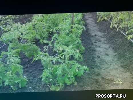 подкормка бором, борное опрыскивание, подкормки, открытый грунт, томаты, огородная азбука, ольга чернова