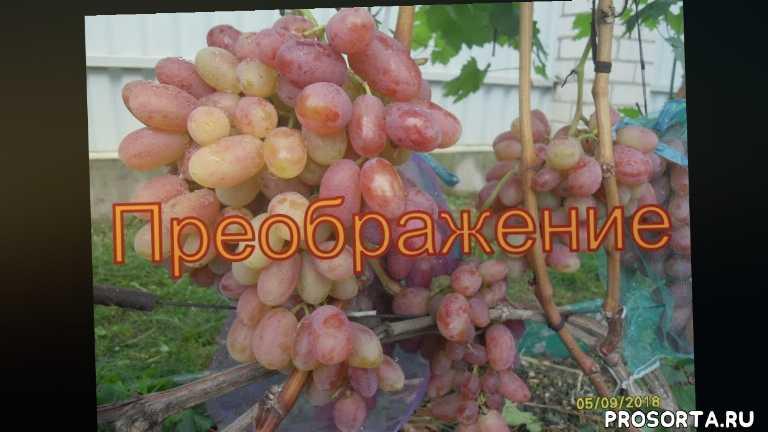 grapes belarus, северный виноград, как вырастить виноград в беларуси, виноград беларуси, виноград лидчины, виноградник юрия стражева, описание винограда - преображение, ягода винограда - преображение