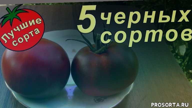 самые вкусные томаты, семена урожайных томатов, семена черных томатов, томат шоколадный зайчик, томат черный слон, томат черный принц, черные томаты отзывы, томаты черные описание