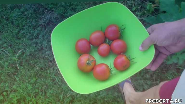 томаты яна, помидоры яна, обзор сорта помидоров, обзор сорта томатов, сорт яна, помидоры, томаты, яна