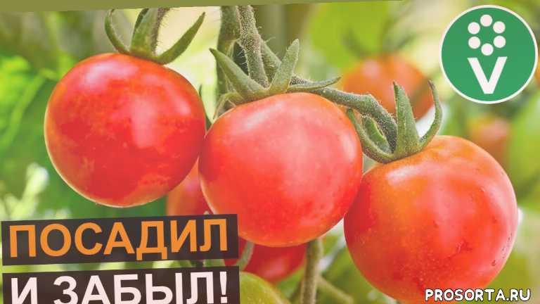 урожайные сорта томатов, лучшие сорта томатов, помидоры для ленивых, томат для ленивых, кроха, помидор кроха, томат кроха, томаты для открытого грунта