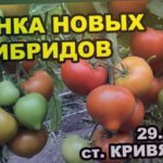 Томаты. Оценка новых гирбидов. ст. Кривянская