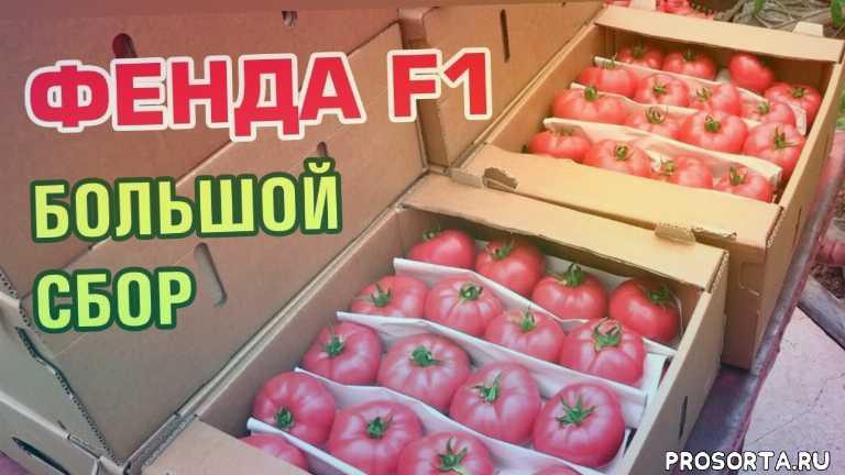 удобрения для томатов, идеальный ранний томат, очень красивый томат, томат фенда f1, вкусный розовый томат, урожайные томаты для теплицы, урожайные томаты 2019 года, сорта томатов