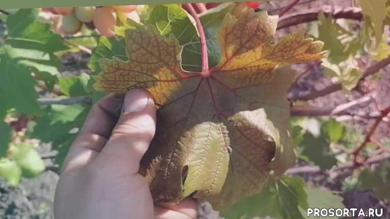 старение листа, почему листья краснеют, причина красноты листьев, буйволовидная цикадка, повреждение цикадкой, повреждение листа, красные пятна на листьях, покраснение листьев