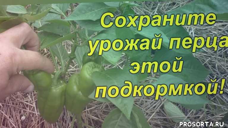 выращивание, урожай, когда, чем, как, подкормка, перец