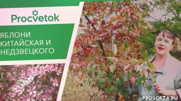 морозостойкие яблони, яблоки ранетки, яблони в саду, procvetok, процветок, декоративные сорта яблони, розовый сорт яблони, деревья для ландшафтного дизайна