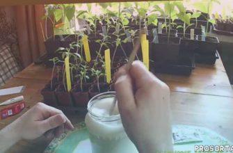 ежевика, ежемалина, рассада перцев, рассада томатов, цветы, дача, огород, сад