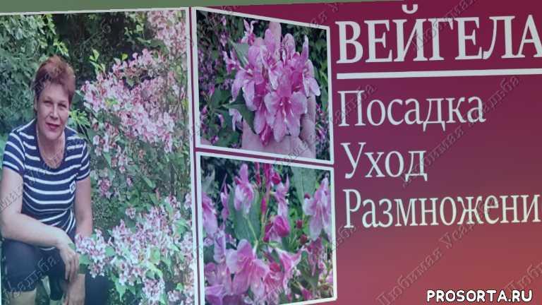 кустарник многолетник, цветущий многолетник, декоративный кустарник, многолетние цветущие кустарники, декоративные цветущие кустарники, цветущие кустарники многолетники, кустарники цветущие весной, все лето