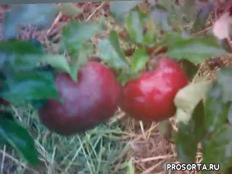 самое вкусное яблоко, сладкие яблоки, сорт яблони белорусское сладкое