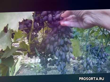 описание сорта винограда кармен, виноград кармен