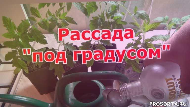 подкормка для растений, рассада томатов, водка и самогон как лучшая подкормка для рассады, водка и самогон против черной ножки, как бороться с черной ножкой, защита растений от черной ножки