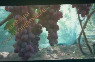 виноград который храниться зимой, сажецны винограда купить, виноград пузенко, описание сорта винограда анюта