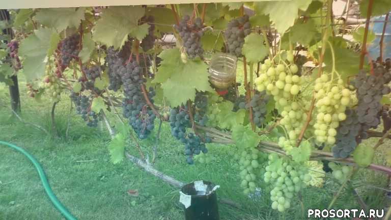 защита от ос, борьба с осами, как избавиться от ос, осы на винограде, виноград беларусь, виноград минск, механическая защита винограда, спасти виноград от птиц