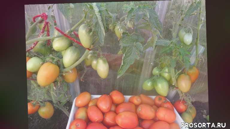 ольга чернова, видеообзор, томат буян, томаты ранние, сад огород