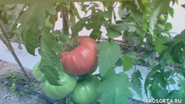 анжела гигант, томат
