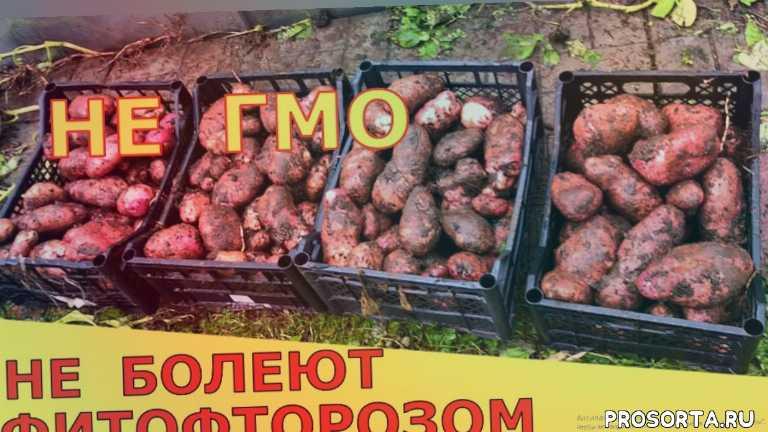vogorode.pro, в огороде про, вогороде про, в огороде, огород, урожай в огороде, урожайные сорта картофеля, картофель сарпо уна