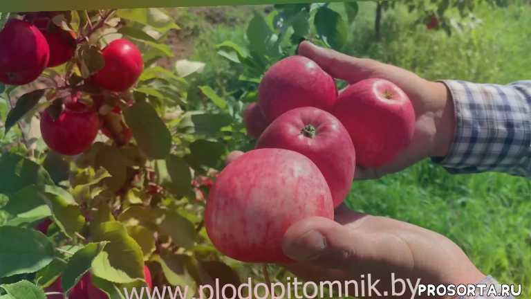 кисло-сладкие яблоки, питомник яблонь, кфх сад, летние яблоки, летние сорта, яблоки, сорта яблок, яблоня мечта