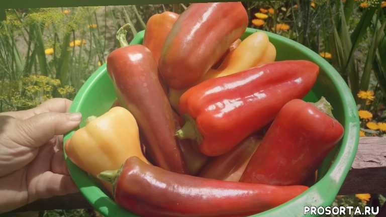какой сорт перца лучший, какой перец лучше, итоги урожая, болгарский перец, сладкий перец, всё понемногу