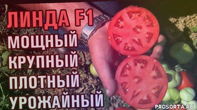 polevod tv, agro7, полевод тв, агро7, плотный томат помидор, урожай томата, плотный томат, крупный помидор